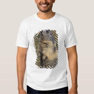 Alpine Marmot, Marmota marmota, adult standing Shirt