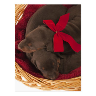 Also Doberman Pincher. Medium-sized domestic dog Postcard