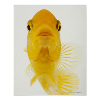 Also known as Comet-tailed goldfish. Hardy Poster