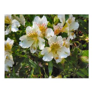 Alstroemeria flowers postcard