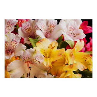 Alstroemeria Flowers Poster/Print Poster