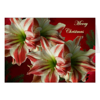 Amaryllis Christmas Card