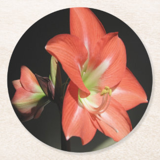 Amaryllis Hippeastrum Flowers Isolated On Black Round Paper Coaster