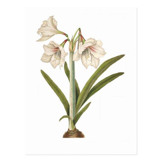 Amaryllis picta postcard