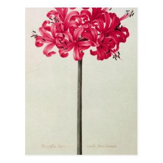 Amaryllis Sarniensis, or Narcissus Postcard