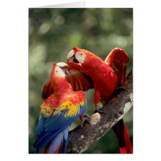 Amazon, Brazil. Pair of Scarlet Macaws (Ara Card