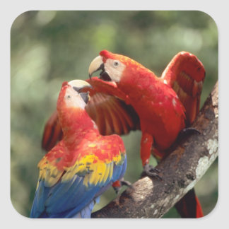 Amazon, Brazil. Pair of Scarlet Macaws (Ara Square Sticker