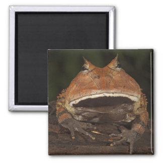 Amazon Horned Frog Ceratophrys cornuta). Square Magnet