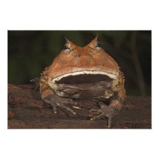 Amazon Horned Frog Ceratophrys cornuta). Photograph