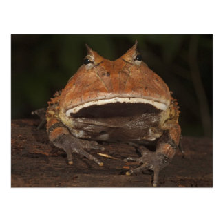 Amazon Horned Frog Ceratophrys cornuta). Postcard