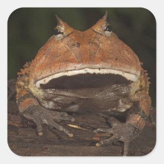 Amazon Horned Frog Ceratophrys cornuta). Stickers
