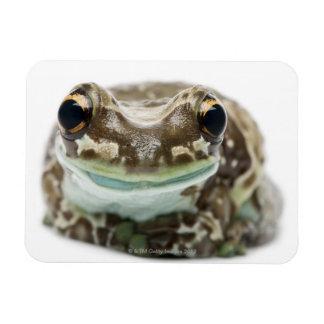 Amazon Milk Frog - Trachycephalus resinifictrix Rectangular Photo Magnet