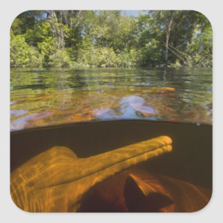 Amazon River Dolphins (Inia geoffrensis) Ariau Stickers