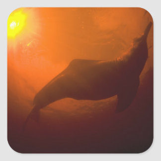 Amazon River Dolphins or Botos (Inia Square Sticker