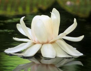 Water Lily Jigsaw Puzzles Zazzlecomau