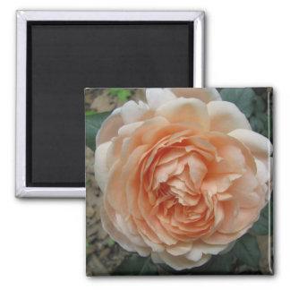 Ambridge Rose in Full Bloom Square Magnet