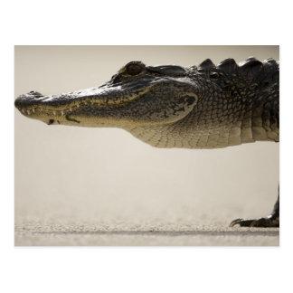 American Alligator, Alligator Postcard