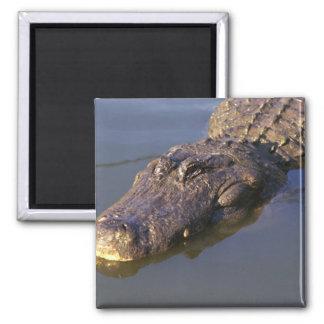 American Alligator Magnet