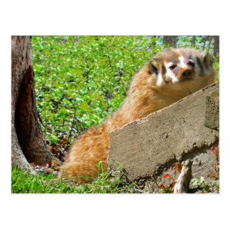 American Badger: Wake-up Call Postcard