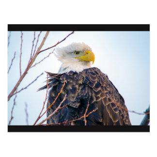 American Bald Eagle IV Postcard