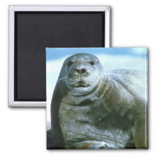 American Bearded Seal Square Magnet