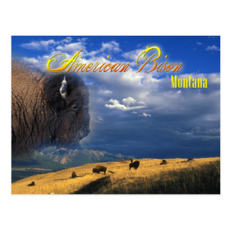 American Bison grazing in Montana Postcard