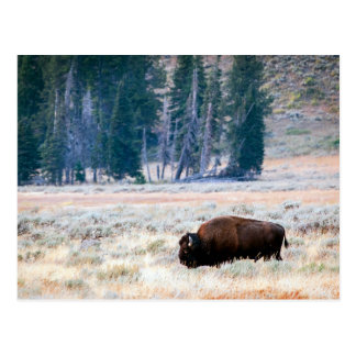 American Bison in Yellowstone National Park Postcard