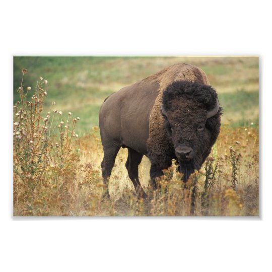 American Bison Photo Print