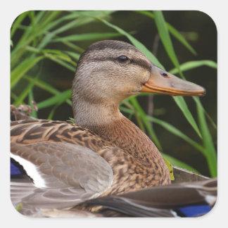 American Black Duck Sticker