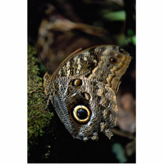 American copper butterfly photo cutout