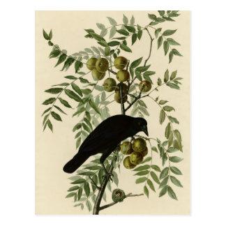 American Crow Postcard