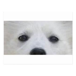 American_Eskimo_Dog eyes Postcard
