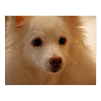 American Eskimo Dog Portrait Postcards