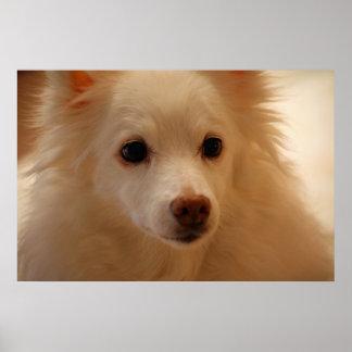 American Eskimo Dog Portrait Poster