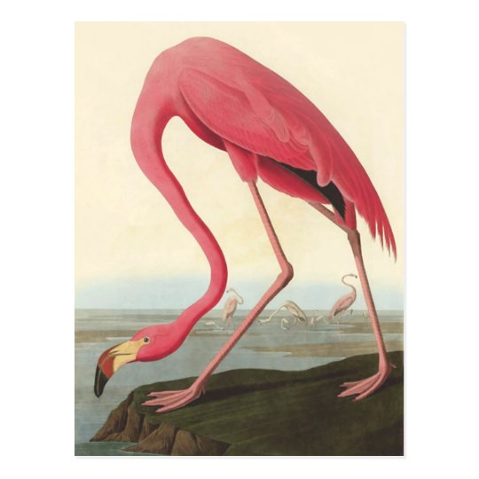 American Flamingo | John James Audubon Postcard