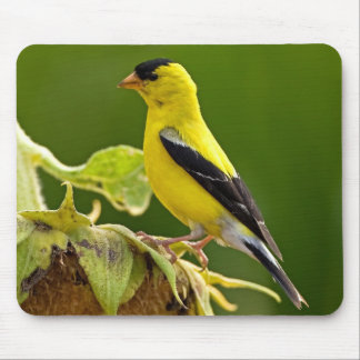 American Gold Finch Mouse Pad