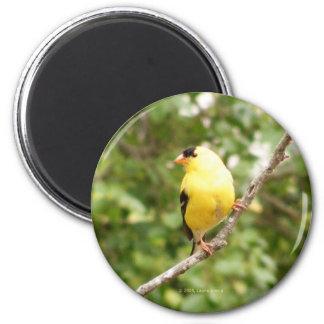 American Goldfinch 6 Cm Round Magnet