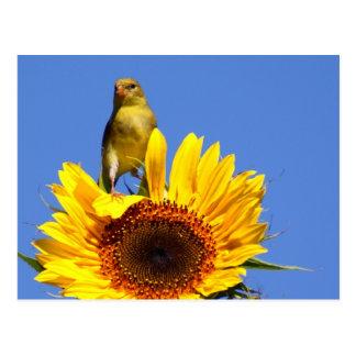 American Goldfinch on Sunflower Postcard