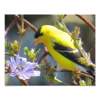 American Goldfinch Photo Print
