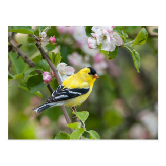 American Goldfinch with spring apple blossoms Postcards