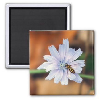 American Hover fly on Chicory Flower Magnet