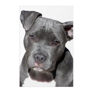 American Pit Bull Terrier Acrylic Wall Art