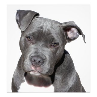 American Pit Bull Terrier Photo Print