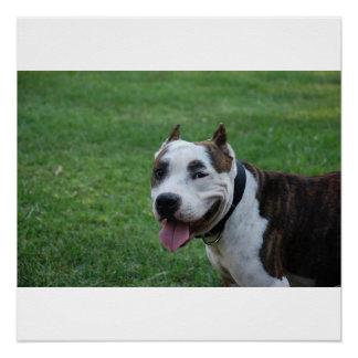 american pit bull terrier smiling poster