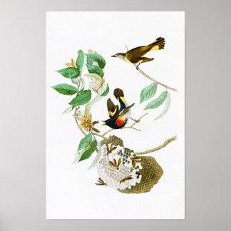 American Redstart John James Audubon Birds America Poster
