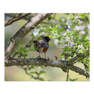 American Robin and Spring Blossoms Poster