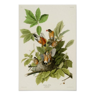 American Robin John James Audubon Birds of America Poster