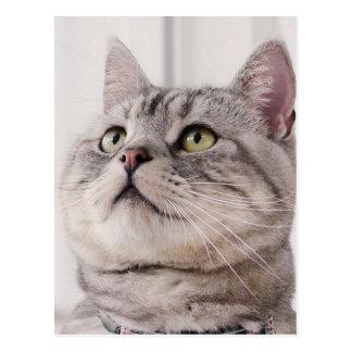 American shorthair cat postcard