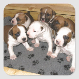 American Staffordshire Terrier Puppies Dog Square Sticker