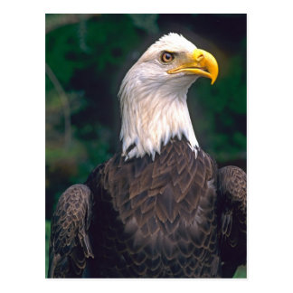 American Symbol of Freedom The Bald Eagle in the Postcard